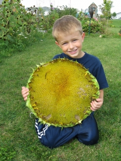 Jack's Giant Sunflower Head